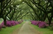 Azaleas Posters - A Beautiful Driveway Lined With Trees Poster by Sam Abell