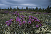 Rhododendron Flowers Framed Prints - A Beautiful Field Of Lapland Rosebay Framed Print by Norbert Rosing