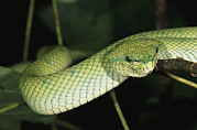 Vipers Posters - A Beautiful Green Pit Viper Gliding Poster by Tim Laman