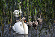 Swans... Photo Metal Prints - A Bevy  Of Swans. Metal Print by Terence Davis