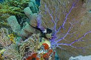 Plumes Prints - A Bi-color Damselfish Amongst The Coral Print by Terry Moore
