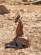 Young Giraffe Photos - A big baby by Melody and Michael Watson