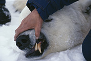 Animal Research Framed Prints - A Biologist Checks A Tranquilized Polar Framed Print by Paul Nicklen