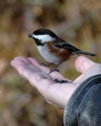 Love Bird Photos - A Bird in the Hand by Bill Kellett