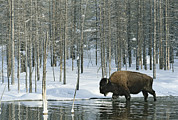 American Bison Prints - A Bison Stands In A Cold  Stream Print by Norbert Rosing