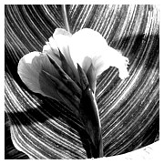 Canna Prints - A Black and white canna claw Print by Frank Wickham