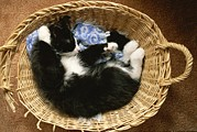 Baskets Photos - A Black-and-white Domestic Short-hair by Brian Gordon Green