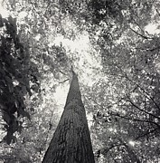Forests And Forestry Art - A Black And White View Looking by Sam Kittner
