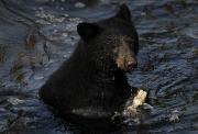 A Black Bear Feeds On Salmon In Anan Print by Melissa Farlow