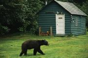 Log Cabins Prints - A Black Bear Looks For A Meal Print by Raymond Gehman