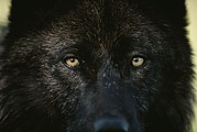 Canis Lupus Prints - A Black-colored Gray Wolf, Canis Lupus Print by Jim And Jamie Dutcher