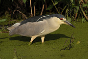 Bombay Posters - A Black Crowned Night Heron Searching Poster by George Grall