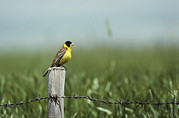 Turkey Metal Prints - A Black-headed Bunting Perches Metal Print by Klaus Nigge