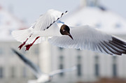 Nymphenburg Framed Prints - A Black-headed Gull in flight Framed Print by Andrew  Michael