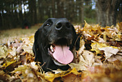 Autumn Photographs Photos - A Black Lab Named Blackie Plays by Bill Curtsinger