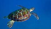 Sea Turtles Posters - A Black Sea Turtle Off The Coast Poster by Michael Wood