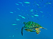 Cheloniidae Prints - A Black Sea Turtle With Remora Swim Print by Michael Wood