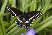 Swallowtail Butterflies Framed Prints - A Black Swallowtail Butterfly, Papilio Framed Print by George Grall