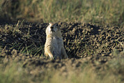 Prairie Dogs Prints - A Black-tailed Prairie Dog Peers Print by Raymond Gehman