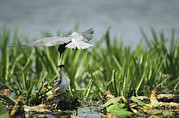 Animal Behavior Art - A Black Tern Feeding Its Chick by Klaus Nigge