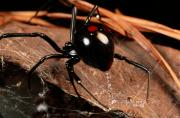 Black Widow Posters - A Black Widow Spider Latrodectus Poster by George Grall