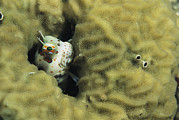 Caroline Islands Prints - A Blenny Peers Out From Its Coral Print by Tim Laman