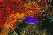 Coelestis Prints - A Blue And Gold Damselfish Print by Tim Laman