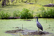 Heaven Prints - A blue bird in a wetland -Yellow-Crowned Night Heron  Print by Ellie Teramoto