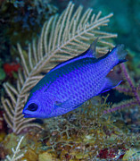 Colorful Tropical Fish  Photos - A Blue Chromis Swims Into The Current by Terry Moore