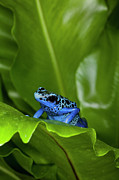 Arrow-leaf Posters - A Blue Dart Frog Poster by Dennis Flaherty