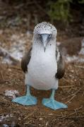Front View Acrylic Prints - A Blue Footed Booby Looks At The Camera Acrylic Print by Stephen St. John