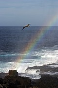 A Blue Footed Booby Soars Print by Ralph Lee Hopkins