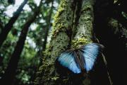 Woodland Scenes Framed Prints - A Blue Morpho Butterfly Framed Print by Joel Sartore
