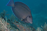 Blue Tang Fish Prints - A Blue Tang Surgeonfish, Key Largo Print by Terry Moore