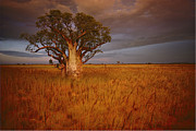 Kimberley Framed Prints - A Boab Tree Stands Solitary In The Bush Framed Print by Sam Abell