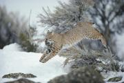 Hunting Scenes Framed Prints - A Bobcat Leaps With A Horned Lark Framed Print by Michael S. Quinton