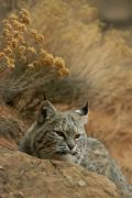 Bobcats Photo Prints - A Bobcat Print by Norbert Rosing