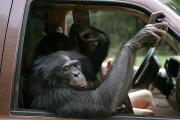 Georgia University Prints - A Bonobo Inside A Truck At A Language Print by Randy Olson