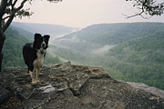 Scenic Overlooks Prints - A Border Collie Stands On The Bluff Print by Stephen Alvarez