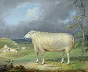 Border Painting Prints - A Border Leicester Ewe  Print by James Ward