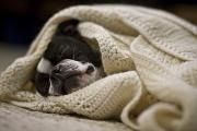Sleeping Dog Posters - A Boston Terrier Sleeps In A White Poster by Hannele Lahti