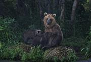 Kamchatka Prints - A Brown Bear Breast-feeding Her Cubs Print by Randy Olson