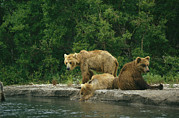 Juvenile Mammals Posters - A Brown Bear Mother And Two Cubs Poster by Klaus Nigge