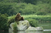 Kamchatka Framed Prints - A Brown Bear Resting On A Rock Framed Print by Klaus Nigge