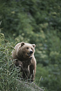 Wild Animal Prints - A Brown Bear Sow With Her Twin Cubs Print by Tom Murphy