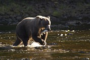 Bears Island Photos - A Brown Bear With A Freshly Caught by Ralph Lee Hopkins