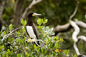 Boobies Metal Prints - A Brown Booby Sula Leucogaster Metal Print by Tim Laman