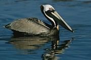 Water Reflections Framed Prints - A Brown Pelican Floating Calmly Framed Print by Tim Laman