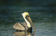 Animal Portraits Photo Posters - A Brown Pelican On Floridas Gulf Coast Poster by Klaus Nigge
