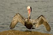 Animal Behavior Posters - A Brown Pelican Pelecanus Occidentalis Poster by Tim Laman